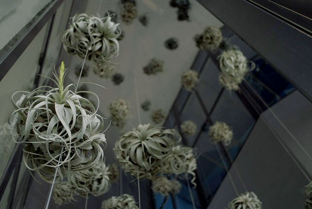 Tillandsia art on pinterest daniel ost epiphyte and for Air plant art
