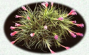Large Picture of Family Bromeliad Genus Tillandsia.