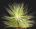 Stricta (the Broom)